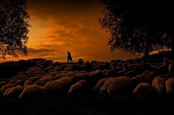 Qoyun çobanının təqva həssaslığı